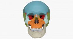 Разборная модель черепа человека, 22 части