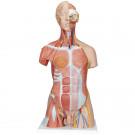 Модель торса человека с мышцами, 31 часть
