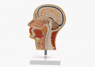 Сечение головы, 2 части