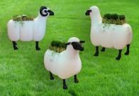 Баран, Овца